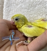 Parrotlet - Green Pied - Female