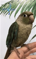 Green Cheek Conure - Turquoise Pineapple - Female