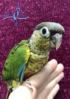 Green Cheek Conure - Yellow Side - Male