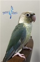 Green Cheek Conure - Turquoise Cinnamon - Female