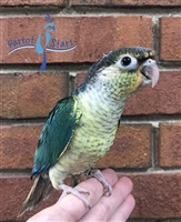 Green Cheek Conure - Turquoise Yellow Side - Male