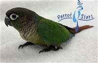 Green Cheek Conure - Normal - Male
