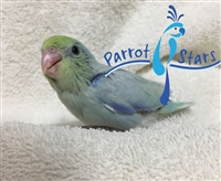 Parrotlet - American Turquoise - Male