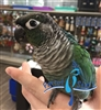 Green Cheek Conure - Turquoise