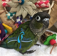 Green Cheek Conure - Normal