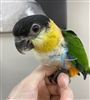 Black Headed Caique - Female