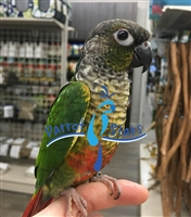 Green Cheek Conure - Yellow Side