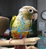 Green Cheek Conure - Pineapple