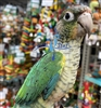 Green Cheek Conure - Turquoise Pineapple