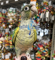 Green Cheek Conure - Turquoise Yellow Side