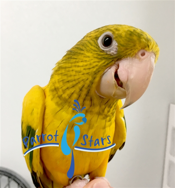 Golden Conure - Queen of Bavaria - Male