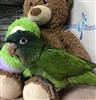 Blue Crown Conure - Male