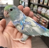 Parrotlet - Turquoise Pied - Male