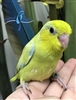 Parrotlet - Yellow - Male
