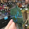 Green Cheek Conure - Single Factor Misty Turquoise