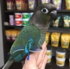 Green Cheek Conure - Double Factor Misty Turquoise