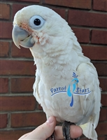 Goffin Cockatoo - Male