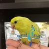 Parrotlet - Yellow - Female ( NB - Black Dot)