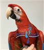 Scarlet Macaw - Female