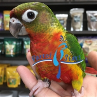 Green Cheek Conure - Red Factor
