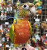 Green Cheek Conure - Red Factor Yellow-Side