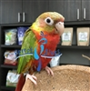 Green Cheek Conure - Red Factor Pineapple