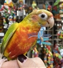 Green Cheek Conure -Red Factor Pineapple