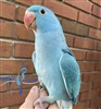 Indian Ringneck Parakeet - Blue - Female