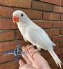 Indian Ringneck Parakeet - Albino - Female