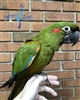 Red Fronted Macaw - Female