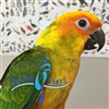 High Yellow Sun Conure