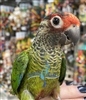 Rosiefrons Conure