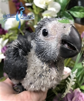 Timneh African Grey - Female