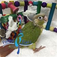 Green Cheek Conure - Cinnamon