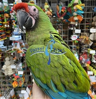 Military Macaw - Male