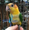 White Bellied Caique - Male