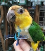 White Bellied Caique - Female