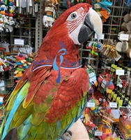 Green Wing Macaw - Male