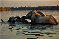 Wild Animal Photography | Elephants Crossing the River at Sunset