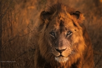 Wild Animal Photography | Lion Face Close Up