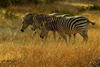 Wildlife Photography | Zebras in African Grasslands