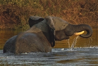 Wildlife Photography | Elephant Drinking in the Chobe River