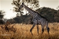 Wildlife Photography | Giraffe on the Plains of Africa