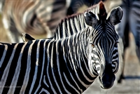 Wildlife Photography | Zebra up Close with Bird on its Back