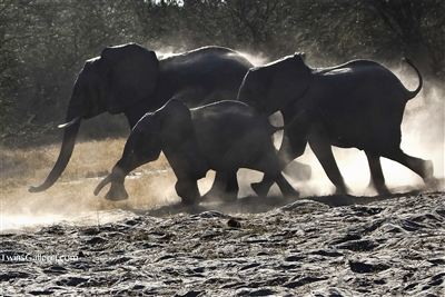 Herd of Elephants Running on the Plains of Botswana | Wildlife Photography