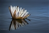 Landscape Photography | Water Lilly Floating on the Chobe River in Botswana