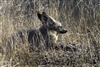 Long Eared Fox on the African Plains | Wildlife Photography
