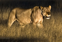 Wildlife Photography | Lioness Hunting at Sunset in Botswana