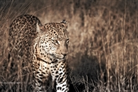 Wildlife Photography | Leopard on the Plains of Botswana Africa