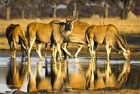 Wildlife Photography | Derby Elands at a Watering Hole in Botswana